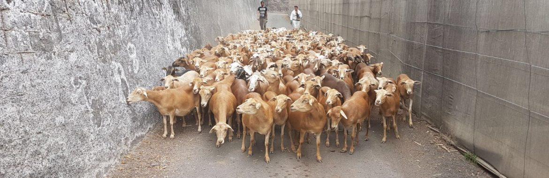 Venta de ganado vacuno y bobino