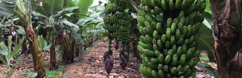 Serviagroc agricultura ecológica - Platanera